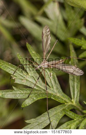 Big Mosquito On Green Leaf
