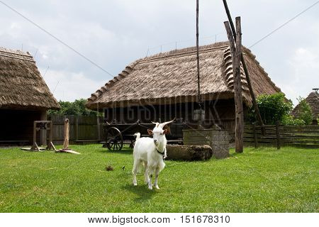 white goat standing in the yard of an old homestead with a well a horse wagon and shack