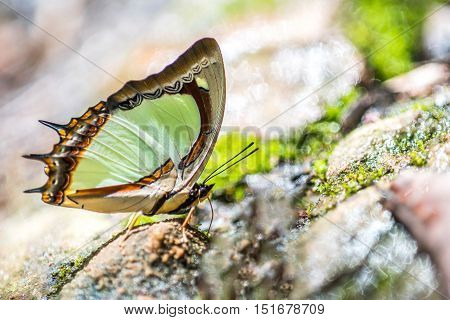 Close up of Yellow Nawab : Polyura jalysus ephebus (Fruhstorfer) butterfly in nature.