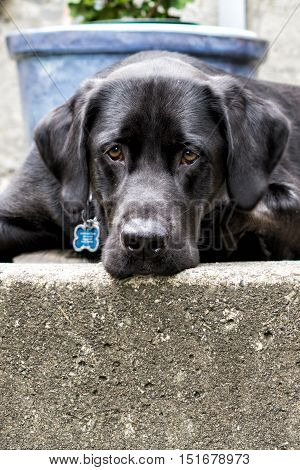 Labrador retrievers are known for their good nature and affection.