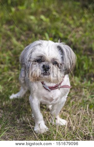 Portrait Of Very Old Shih Tzu Dog, On The Grass