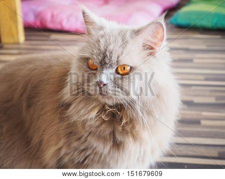 Persian grey cat with orange eyes looking something