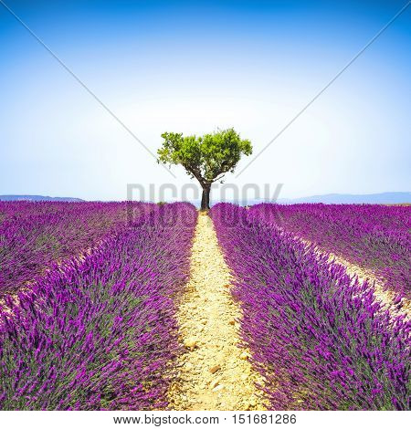 Lavender flowers blooming field and a lonely tree uphill. Valensole Provence France Europe.