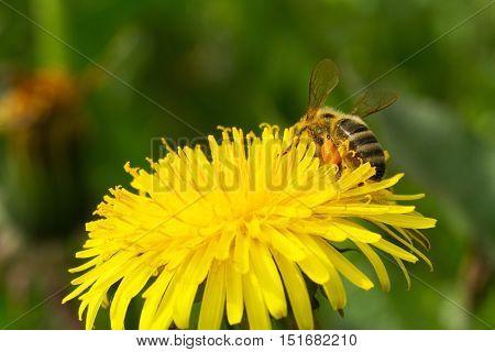 Bee On A Yellow Dandelion 5