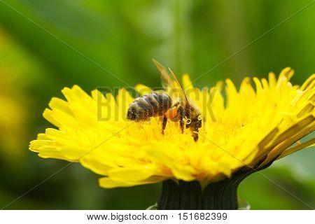 Bee On A Yellow Dandelion 4
