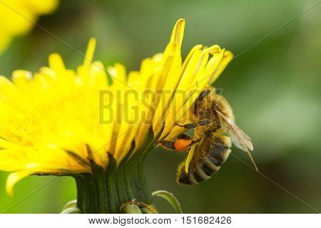 Bee On A Yellow Dandelion 3