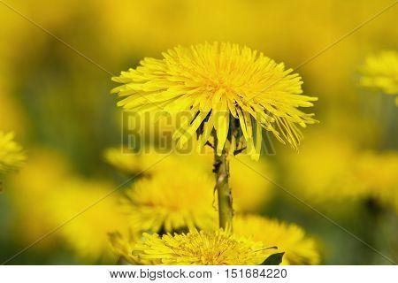 Yellow Dandelions On Green Meadow 8