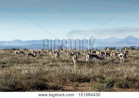 Field Of Springboks