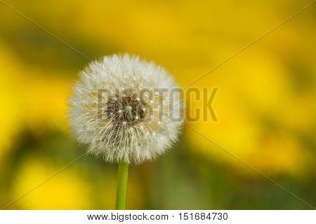 Yellow Dandelions On Green Meadow 4