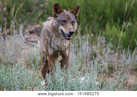 Whole wet Canis Lupus Signatus in the wild looking at the front