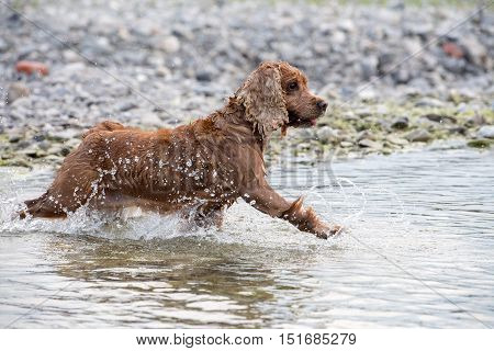Puppy Young Dog English Cocker Spaniel The Water