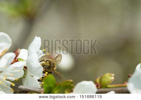 Bees On Flowers Apple 5