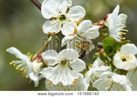 Branches Of Flowering Apple Tree 2