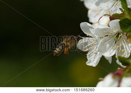 Bees On Flowers Apple 2
