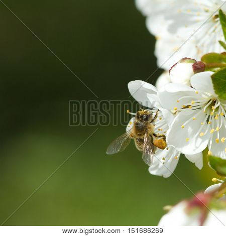 Bees On Flowers Apple 3