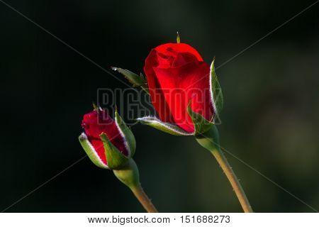 One red rose bud in the garden. Summer love flower