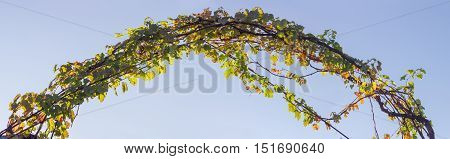 Arch of the metal rods twined the stems of grapes with autumn leaves against the sky