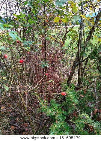 in the coniferous forest growing prickly bush of wild dog rose with thorns
