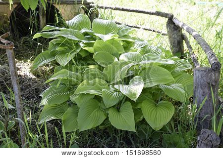 Wide Brim Hosta a Plantain a Lily