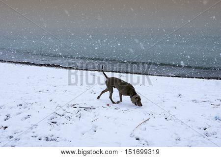 Cecina Marina Livorno Tuscany - snowfall in the seaside town dog in the beach