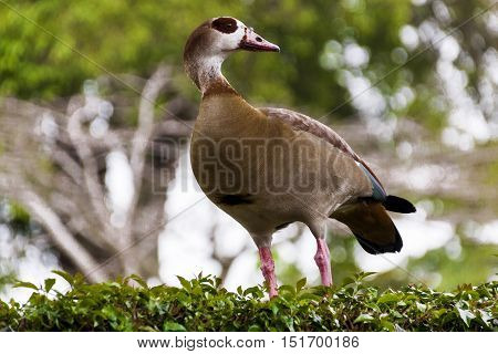 Colorful Wild Egyptian Goose Perched On Green Garden Hedge