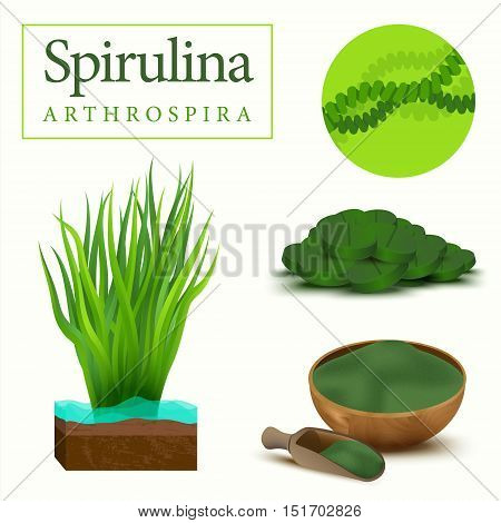 Set of spirulina algae tablets pills powder and cells. Arthrospira seaweed dietary supplement image. Superfood vector illustration