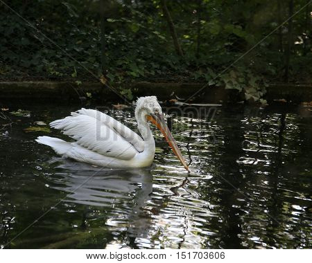 Big Pelican With Long Beak While Swimming