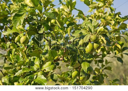 Persian Lime Tree with its fruit growing in strong sun in Italy, Europe