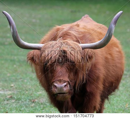Yak With Long Brown Hair And Long Horns While Grazing