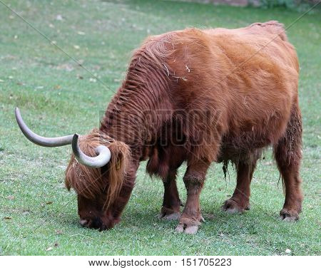 Big Yak With Long Brown Hair And Long Horns