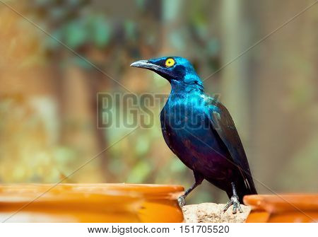 Beautiful shiny bird. Cape Glossy Starling Lamprotornis Glossy Starling from the Africa.