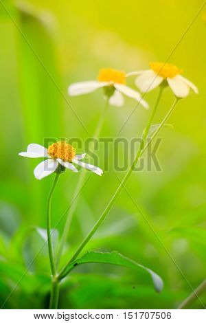 the White daisy or Leucanthemum vulgare or oxeye daisy and water drops in the garden