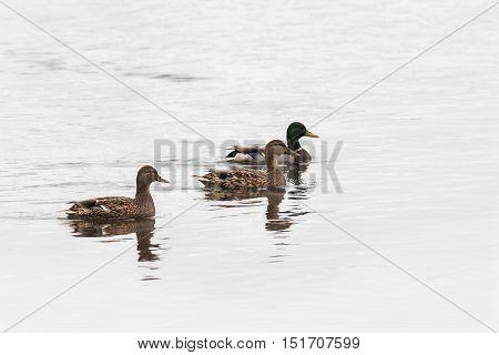 Wild mallard duck two females and one male - drake