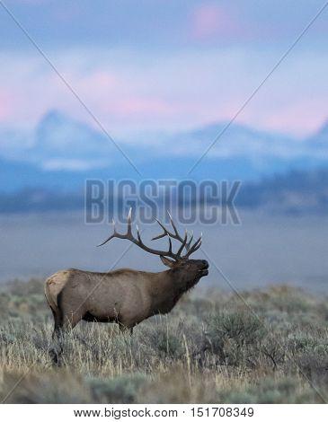 Bugling bull elk in sagebrush in late evening light