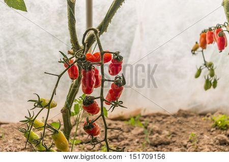 A greenhouse with a bush full of red oblong tomatoes and a grey soil