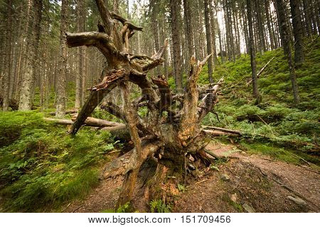 Fallen tree root lies on the path through the wood