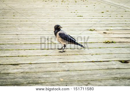 black raven bird walking over wooden floor