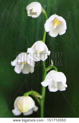 Lily Of Valley Background
