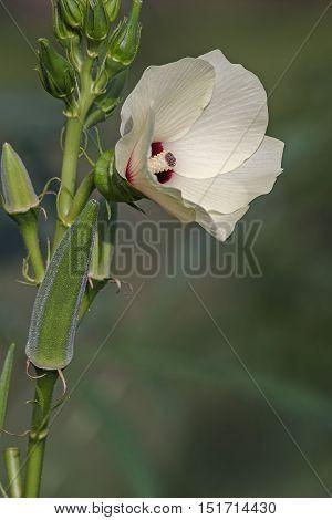 Okra (Abelmoschus esculentus). Called Ladies' Fingers Bhindi Bamia Ochro and Gumbo also