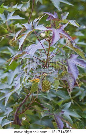 American sweetgum (Liquidambar styraciflua). Called Redgum Sweet Gum Satinwood Hazel Pine American-storax Bilsted Satin-walnut Star-leaved Gum and Alligator-wood also