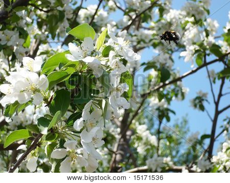 Apple Tree And Bee