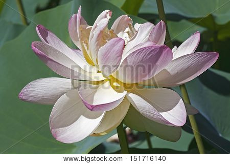 Sacred lotus (Nelumbo nucifera). Called Indian Lotus Bean of India and Lotus also.