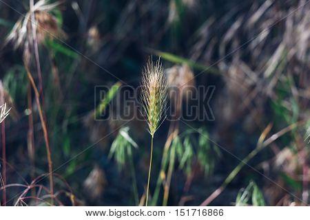 summer spicas on a beautiful bokeh background, wild field