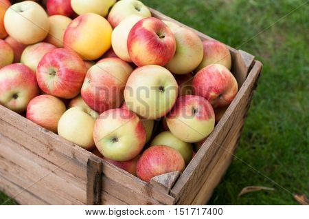 Lot af apples in an old wooden crate