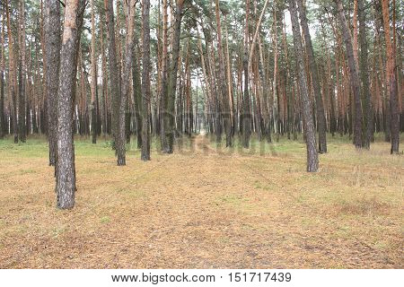 Edge of beautiful pine forest with dirt road