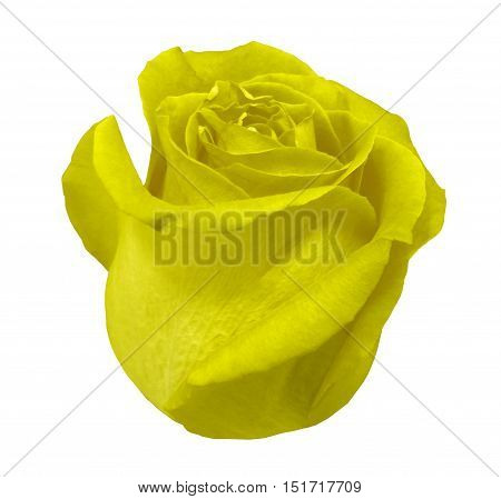 Flower rose yellow rose white isolated background with clipping path. Closeup with no shadows. Nature.  Yellow rose side view.