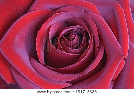 Red hybrid rose flower (Rosa x hybrid)
