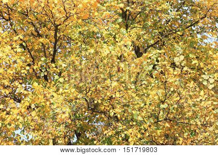 Autumn tree with yellow leaves in good weather day / autumn background