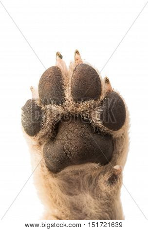 foot dog puppy paw on white background