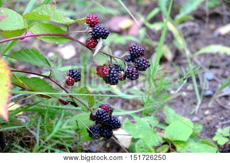 Ripe blackberries are hanging on branch against the backdrop of green grass